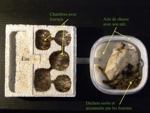 Photo 4 : Description de ma colonie de Myrmica dans son nid en béton cellulaire - ©Photo B. GILLES