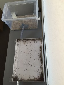 Formica fusca installed in their new acrylic plastic nest - Photo B. GILLES