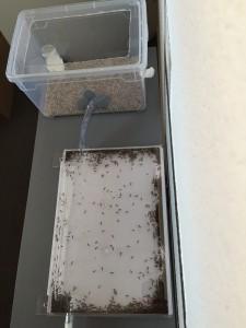 Formica fusca installées dans leur nouveau nid en plastique acrylique - Photo B. GILLES