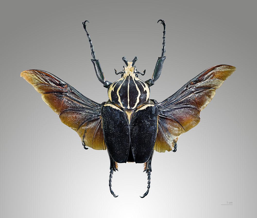 Photo 4 : Goliathus goliathus mâle en position de vol (Source : Didier Descouens - Wikipedia)