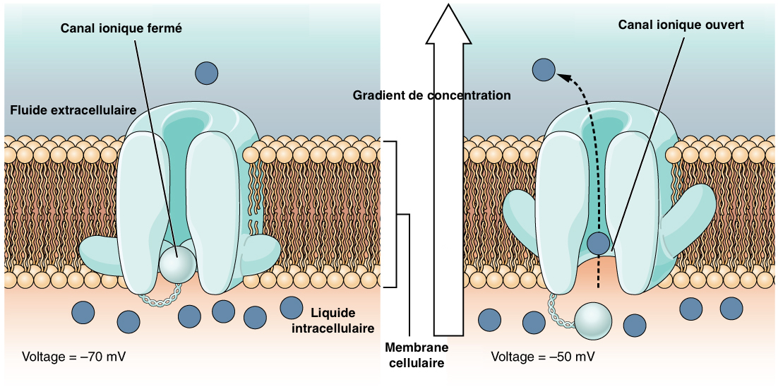 Figure 3 : Opening of the ion channel and ion exchange at the surface of the plasma membrane of the nerve cell (Source : Wikipedia - Modified by B. GILLES)