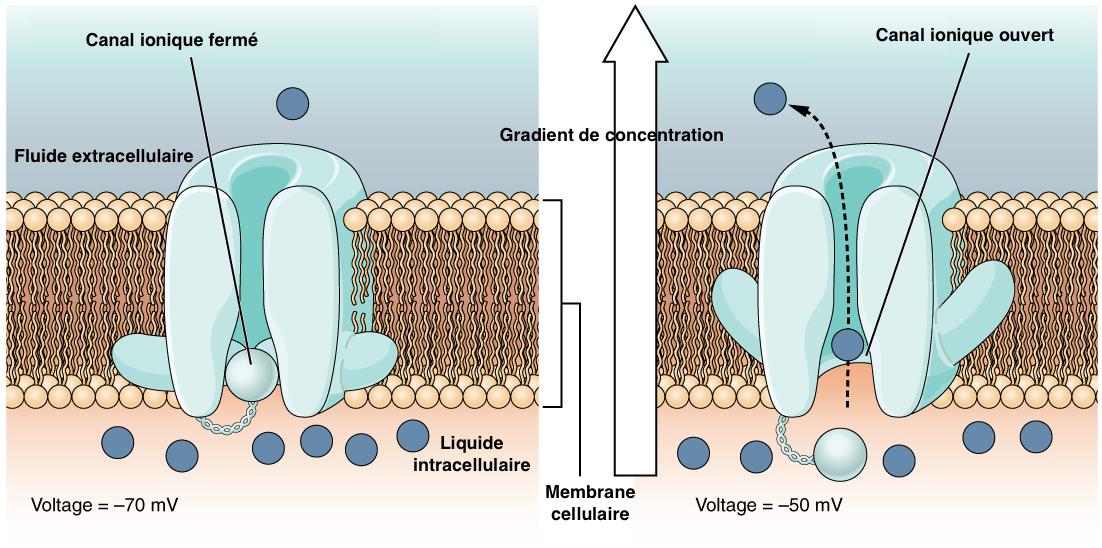 Figure 3 : Ouverture du canal ionique et échange d'ions à la surface de la membrane plasmique de la cellule nerveuse (Source : Wikipedia - Modifié par B. GILLES)