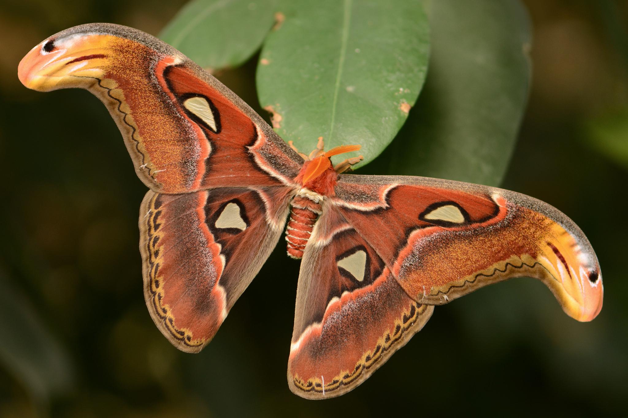 Photo 5 : Attacus atlas femelle (Source : Alias 0591 - Flickr.com)