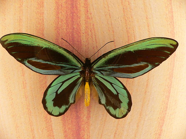 Photo 7 : Ornithoptera alexandrae mâle (Source : Mark Pelligrini - Wikipedia)