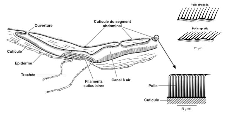 Figure 4 : Organe de détection de la pression chez la punaise du genre Aphelocheirus (Source :