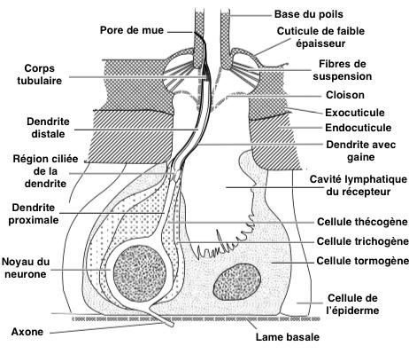 Figure 1 : Coupe transversale d'une sensille simple