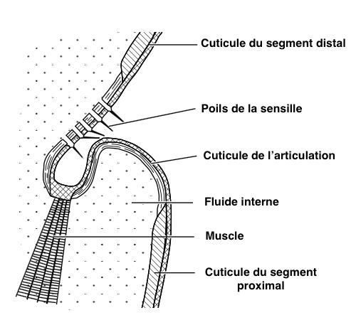 Figure 5 : Schéma de sensilles trichoïdes au niveau d'une articulation (Source :