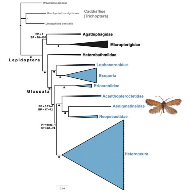 Illustration 1 : Nouvel arbre phylogénétique des Lépidoptères (Source :