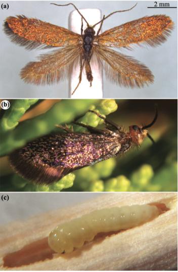 Espèce Aenigmatinae glatzella : (a) mâle, (b) femelle sur sa plante hôte, (c) chenille sur plante hôte