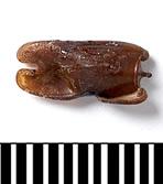 Photo 2 : Oeuf de Phobaeticus chani avec ces excroissances aplaties (Source : Natural History Museum - 2008)