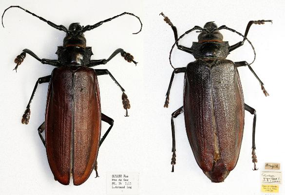 Photo 3 : Spécimens de Titanus giganteus - à gauche un mâle de 13,3cm - à droite une femelle de 13,5cm (Source : Natural History Museum - Coleoptera section)