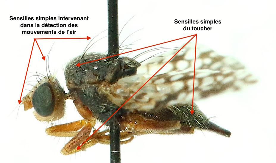 Photo 2 : Exemple de sensilles et de leur rôle sur une mouche du genre Tephritis (Tephritidae) (Source : Photo B. GILLES)