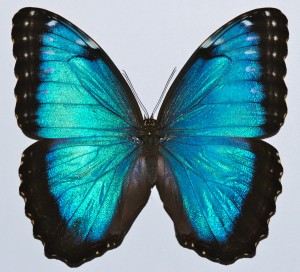 Photo 1 : Morpho peleides (Source : Bernard Dupont - Flickr.com)