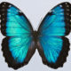 Morpho's blue colour: a structural origin