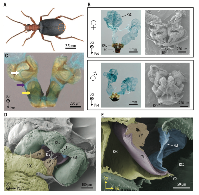 Mechanisms at the origin of defensive spraying in beetle bombers
