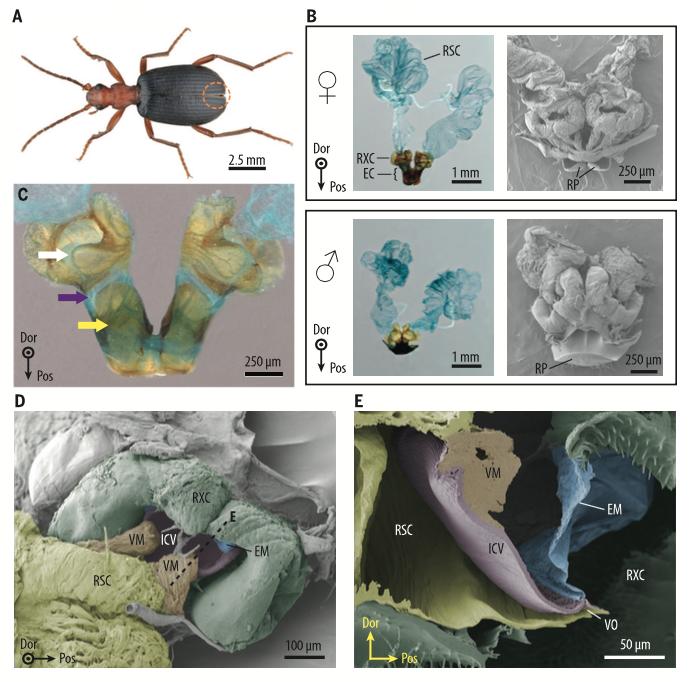 Les mécanismes à l'origine de la pulvérisation défensive chez les coléoptères bombardiers