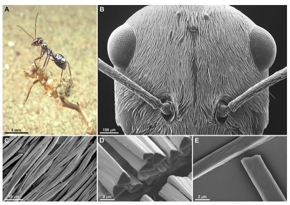 Illustration 1 : A) Individu Cataglyphis bombycina, B) Tête recouverte de poils argentés, C) Poils argentés se rétrécissant à leur extrémité, D) Coupe transversale de poils de forme triangulaire, E) face à fond plat du poils (Shi et al., 2015)
