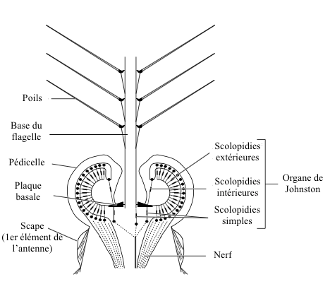 Figure 4 : Johnston's organ in a male mosquito (Source : after Autrum, 1963 - The Insects : Structure and Function - R.F. Chapman - 5th edition (2013) - p754 - modified by Benoît GILLES)