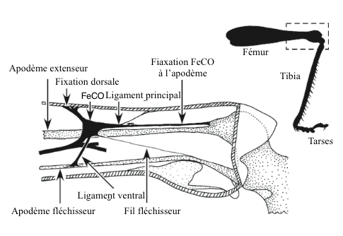 Figure 2 : Chordotonal femoro-tibial organ (FeCO) in a locust of the genus Locuste (Source: d'après Matheson and Field, 1995 - The Insects : Structure and Function - R.F. Chapman - 5th edition (2013) - p749 - Modified by Benoît GILLES)