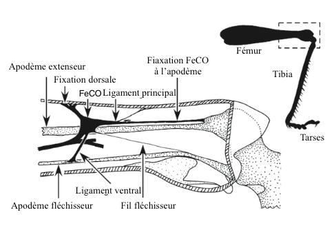 Figure 2 : Organe chordotonal fémoro-tibial (FeCO) chez un criquet du genre Locuste (Source : d'après Matheson and Field, 1995 - The Insects : Structure and Fonction - R.F. Chapman - 5ème édition (2013) - p749 - Modifié par Benoît GILLES)