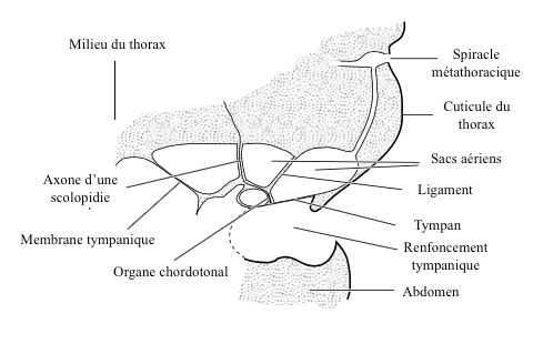 Figure 6 : Organe tympanique de la noctuelle (Source : d'après Roeder and Treat, 1957 - The Insects : Structure and Function - R.F. Chapman - 5ème édition (2013) - p758 - modifié par Benoît GILLES)