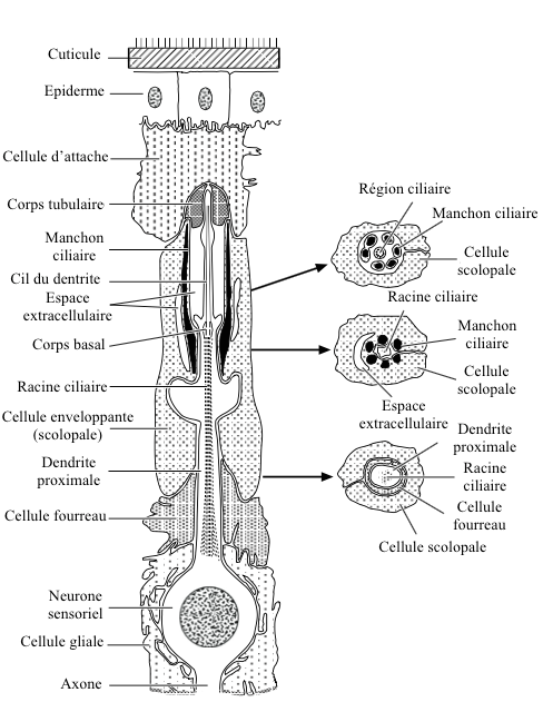 Figure 1 : Basic structure of a chordotonal organ - Left : Longitudinal section - Right : Cross sections (Source : from Gray, 1960 - The Insects : Structure and Function - R.F. Chapman - 5th edition (2013) - p750 - Modified by Benoît GILLES)