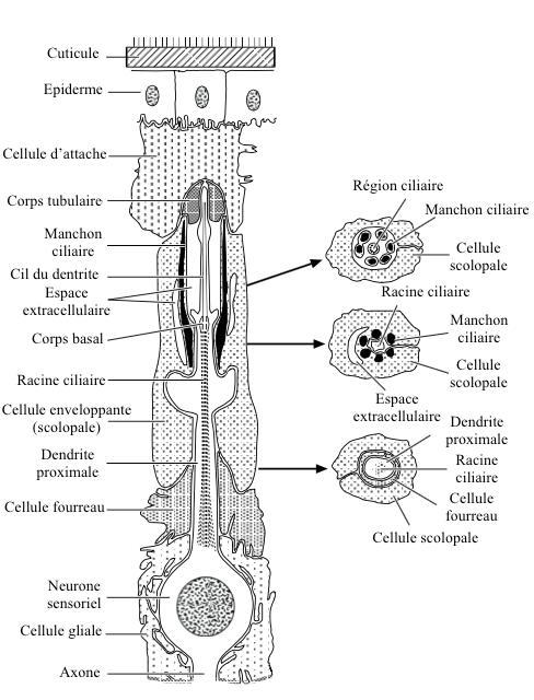 Figure 1 : Structure basique d'un organe chordotonal - A gauche : coupe longitudinale - A droite : coupes transversales (Source : d'après Gray, 1960 - The Insects : Structure and Fonction - R.F. Chapman - 5ème édition (2013) - p750 - Modifié par Benoît GILLES)