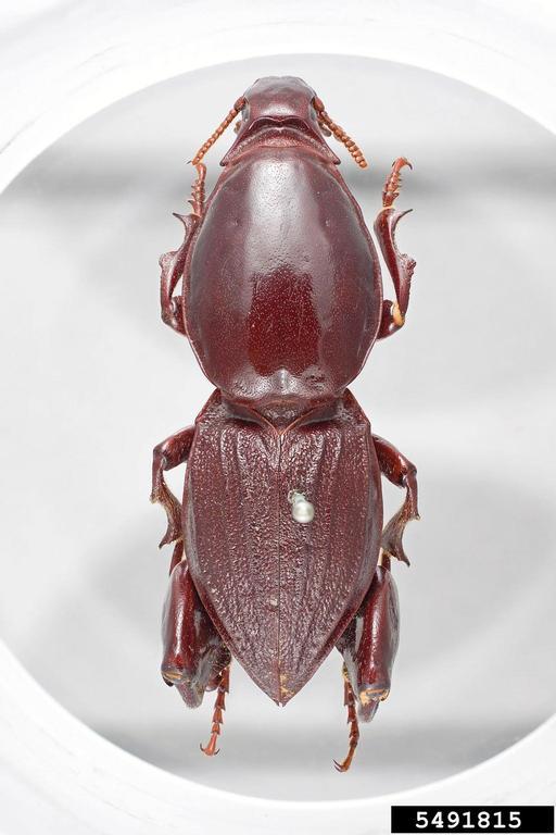 Photo 1 : Hypocephalus armatus mâle vue de dessus (Source : Nathan Lord)
