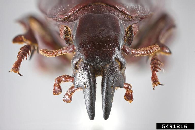 Tête d'Hypocephalus armatus vue de face (Source : Nathan Lord)
