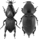 Hypocephalus armatus: a (very) unusual long-horned beetle