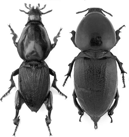 Photo 4 : Mâle (à gauche) et femelle (à droite) Hypocephalus armatus (Source : Coleoptera-Beetle Volume 3 - p19)