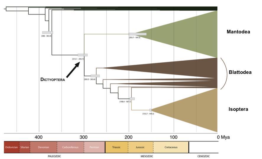 Illustration 1 : Arbre phylogénétique simplifié de l'ordre des Dictyoptères (Source : Legendre et al., 2015)