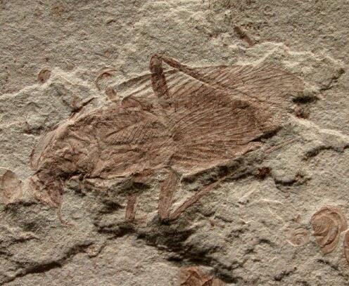 Photo 1 : blatte fossile du Crétacé (-125 millions d'années) (Source : Chine - Province de Liaoning - Fossilmuseum.net)