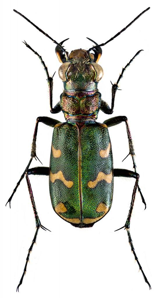 Cicindela hybrida transversalis (Dejean, 1822) (Source : Flickr - Udo Schmidt)