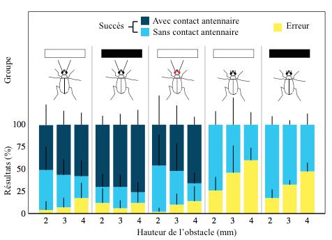 Figure 1 : Résultats sur les évitements d'obstacles pour des insectes dépourvus d'antennes ou de vision, comparés aux témoins (Source : Zurek & Gilbert (2014) - Modifié par B. GILLES)