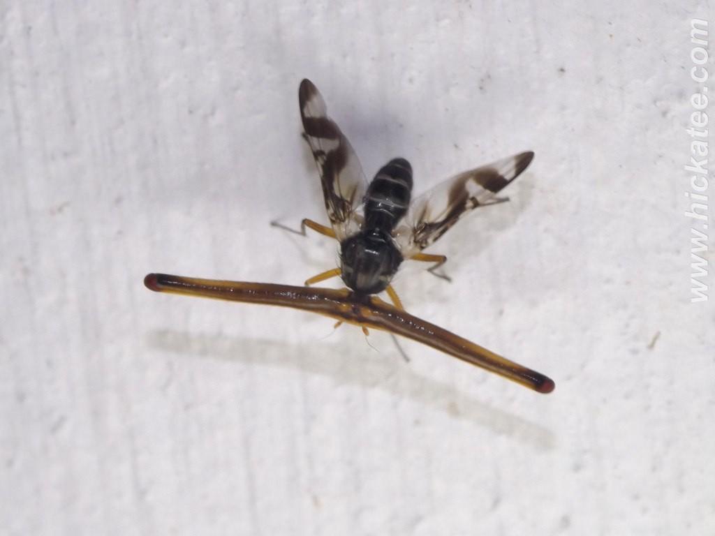 Photo 3 : Mouche de la famille des Richardiidae, espèce non déterminée (Source : Ian Morton - Flickr)