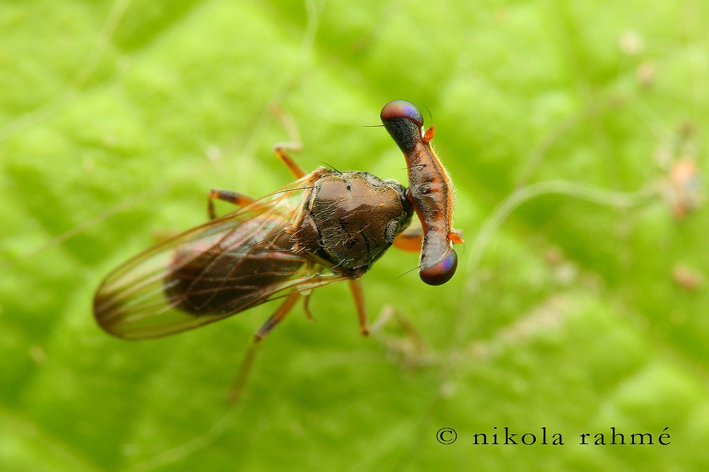 Photo 1 : Sphyracephala europaea (Source : Nikola Rahmé - Flickr)