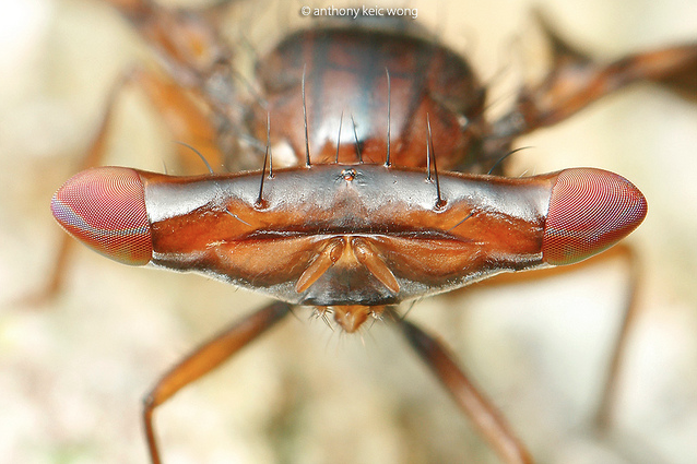 Photo : Front view of the head of Themara maculipennis (Source : Anthony KeiC Wong - Flickr)