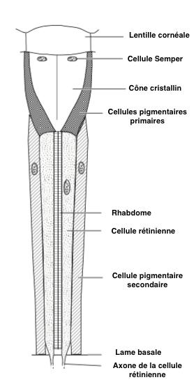 Figure 2 : Structure générale d'une ommatidie d'insecte (Source : Chapman)