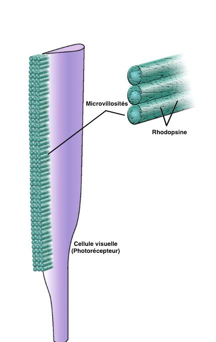 Figure 3 : Microvillosités du rhabdome du photorécepteur (Source : Srinivasan, 2011 - Modifié par B. GILLES)