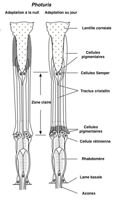 Figure 8 : Ommatidie de type exocône dont la zone claire est formée des cellules de Semper - Adaptation à la nuit (à gauche) - Adaptation au jour (à droite) (Chez l'espèce Photuris, Coléoptères) - D'après Walcott, 1975 (Source : Chapman - Modifié par B. GILLES)