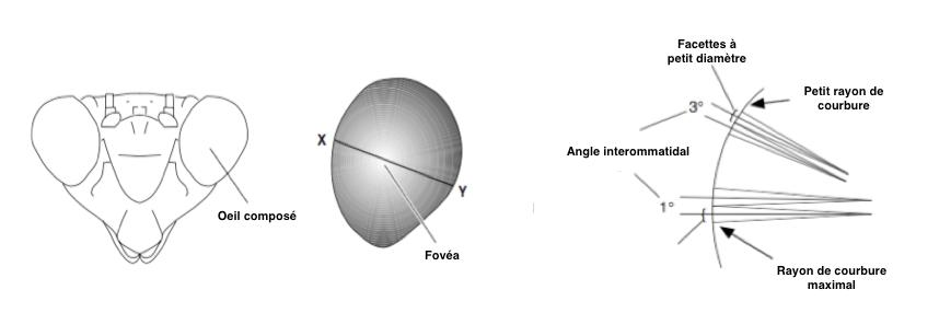 Figure 6 : Variation des ommatidies chez Tenonnera (Mantoptères) d'après Rossel, 1979 - Vue frontale de la tête (à gauche) - Oeil composé avec la fovéa en clair (au milieu) - Coupe transversale de l'oeil composé montrant les différences de courbure, d'angle interommatidal et de longueur de rhabdome (Source : Chapman - Modifié par B. GILLES)