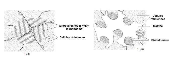 """Figure 4 : Rhabdomères """"fusionnés"""" (à gauche) - Rhabdomères """"ouverts"""" (à droite) (Source : Chapman - Modifié par B. GILLES)"""