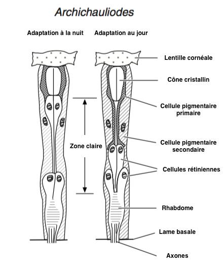 Figure 7 : Ommatidie de type eucône avec sa zone claire - Adaptation à la nuit (à gauche) - Adaptation à la lumière (à droite) (Chez l'espèce Archicauliodes, Mégaloptères) - D'après Walcott, 1975 (Source : Chapman - Modifié par B. GILLES)