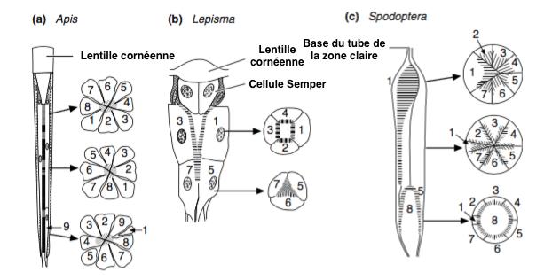 Figure 9 : Section transversale de différents types d'ommatidies - a) Rhabdome de type enroulé, les cellules photoréceptrices pivotent de 180° (chaque numéro correspond à une cellule photoréceptrice) (chez l'abeille) - b) Rhabdome de type étagé, 4 photorécepteurs sur la partie supérieure et 3 sur l'inférieure (chez le lépisme, Thysanoures) - c) Rhabdome de type étagé, chez un oeil composé de type superposition (chaque numéro correspond à une cellule photoréceptrice) (Source : - Modifié par B. GILLES
