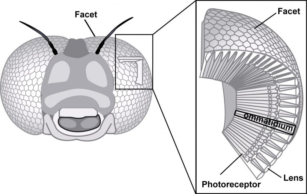 Figure 1 : Compound eye and ommatidies of an insect (Source : Ecole Polytechnique Fédérale de Lausanne)