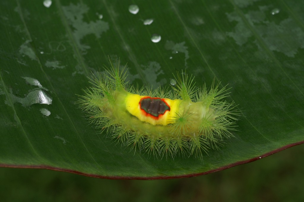 Limacocidae butterfly caterpillar (Gabon 2015) (Source : Nicolas MOULIN)
