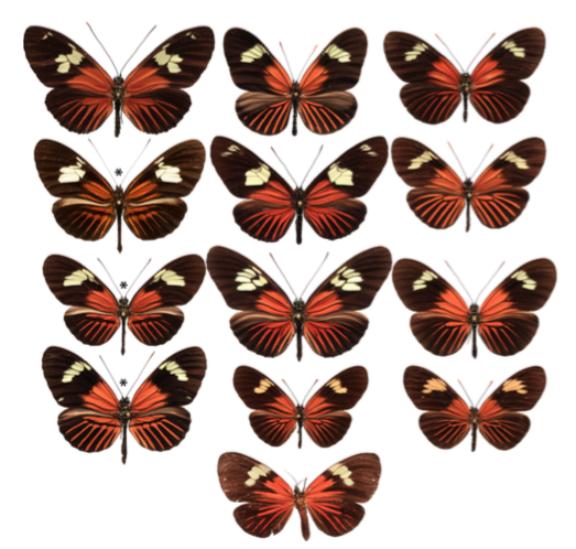 Evolutionary history of Heliconius staining