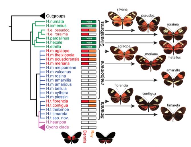 Figure 5 : Phylogénie des espèces étudiées et leur combinaisons respectives en allèles Dennis et Ray (Source : Wallbank et al., 2016)
