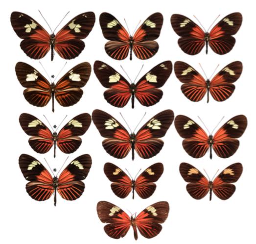 Diversité des patterns de plusieurs espèces d'Amazonie - 1ère ligne : H. burneyi huebneri, H. aoede auca et H. xanthocles Zamora - 2ème ligne : H. timareta f. timareta, H. doris doris et H. demeter ucayalensis - 3ème ligne : H. melpomene malleti, H. egeria homogena et H. erato emma - 4ème ligne : H. elevatus pseudocupidineus, Eueides heliconioides eanes et E. tales calathus - 5ème ligne : Cretonne phyllies (Source : Wallbank et al., 2015)